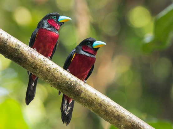 Black-and-red Broadbill at Panti Forest. Photo Credit: Francis Yap