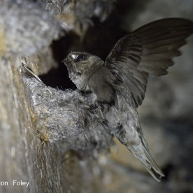 Black-nest Swiftlet at Sentosa. Photo credit: Con Foley
