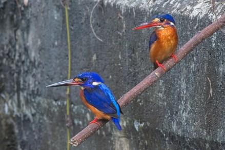 Blue-eared Kingfisher pair at NTL2. Photo Credit: Francis Yap