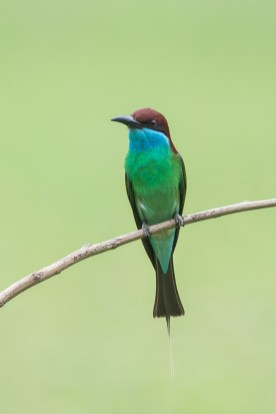 Blue-throated Bee-eater at Punggol End. Photo credit: Francis Yap
