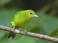 Juvenile Blue-winged Leafbird at Panti. Photo Credit: Chong Boon Leong