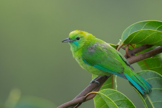 Female Blue-winged Leafbird at Jelutong Tower. Photo Credit: Francis Yap
