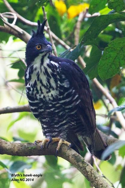 Adult Blyth's Hawk Eagle at Panti Bird Sanctuary. Photo credit: Alan Ng