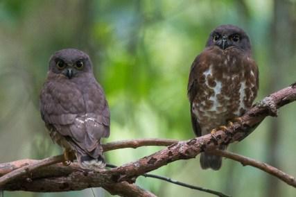 Brown Hawk-Owl at Venus Drive. Photo Credit: Francis Yap