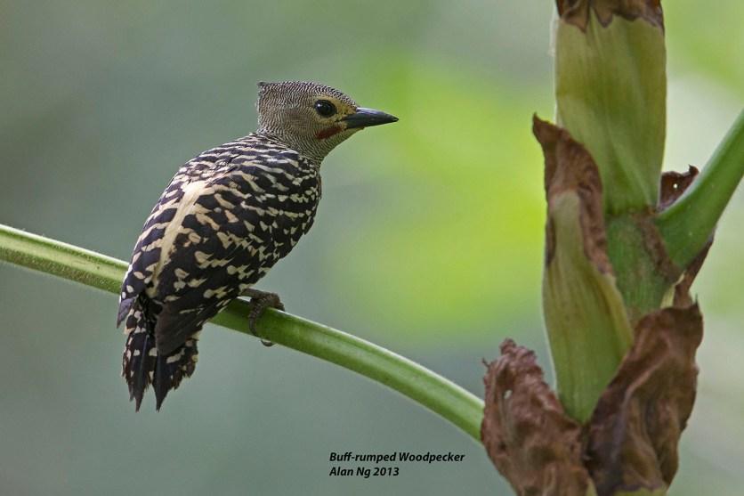 Buff-rumped Woodpecker at Panti Forest. Photo Credit: Alan Ng