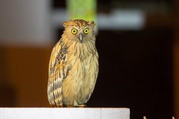 Buffy Fish Owl at Punggol. Photo Credit: Francis Yap