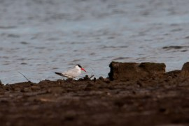 Caspian Tern at Mandai Mudflats. Photo Credit: Frankie Cheong