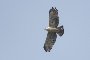 Pale morph Changeable Hawk-Eagle at Jelutong Tower. Photo Credit: Francis Yap