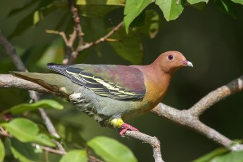 Male Cinnamon-headed Green Pigeon at TEG. Photo Credit: Francis Yap