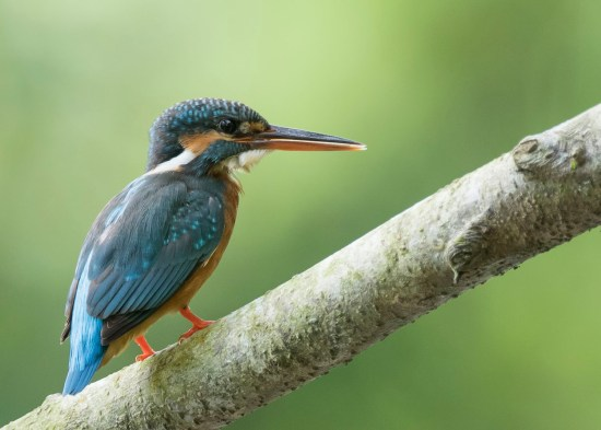 Female Common Kingfisher at Jurong ECO Garden. Photo credit: See Toh Yew Wai