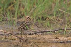 Common Snipe at Punggol Barat. Photo Credit: Francis Yap