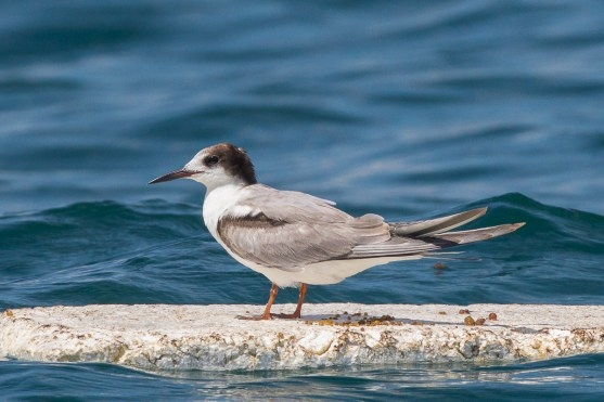 Non-breeding Common Tern at Singapore Strait. Photo Credit: Francis Yap
