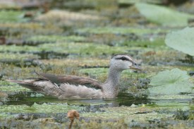 Subadult male Cotton Pygmy Goose at Satay by the Bay. Photo credit: Francis Yap.