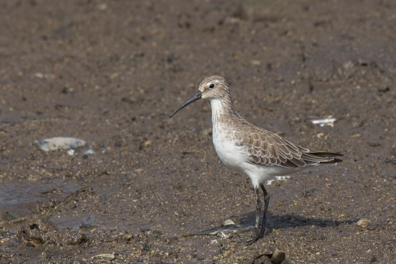 Curlew Sandpiper at SBWR. Photo Credit: Francis Yap