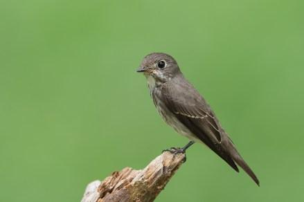 Dark-sided Flycatcher at Bidadari. Photo credit: Francis Yap