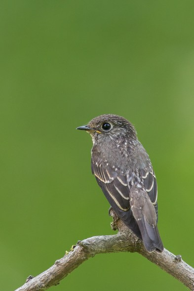 Juvenile Dark-sided Flycatcher at Bidadari. Photo Credit: Francis Yap