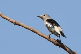 Daurian Starling. Photo credit: Myron Tay