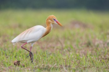 Eastern Cattle Egret in prime breeding plumage at Lim Chu Kang. Photo Credit: Francis Yap