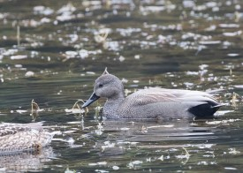 Gadwall (male) at Tokyo Imperial Garden. Photo credit: See Toh Yew Wai