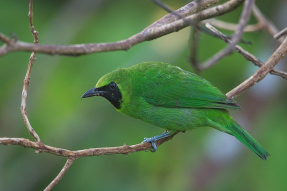 Male Greater Green Leafbird at Jelutong Tower. Photo Credit: Francis Yap