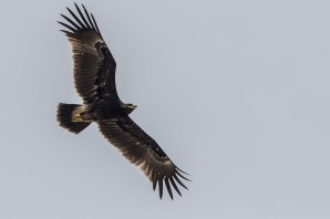 Juvenile Greater Spotted Eagle at Tuas. Photo credits: Koh Lian Heng