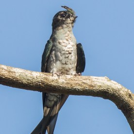 Juvenile Grey-rumped Treeswift at Mandai. Photo credit: Francis Yap