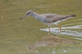 Grey-tailed Tattler at SBWR. Photo Credit: Francis Yap