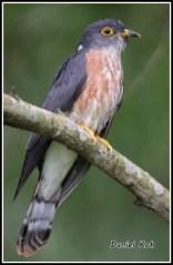 Adult Hodgson's Hawk-Cuckoo at Bidadari. Photo Credit: Daniel Koh aka Hiker