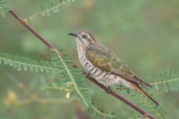 Female Horsfield's Bronze Cuckoo at Punggol Barat. Photo Credit: Francis Yap
