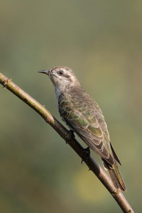Horsfield's Bronze Cuckoo at Punggol Barat. Photo Credit: Francis Yap