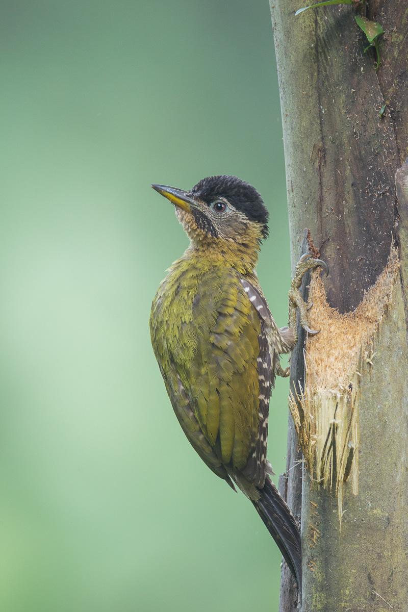 Female Laced Woodpecker at SBG. Photo credit: Francis Yap