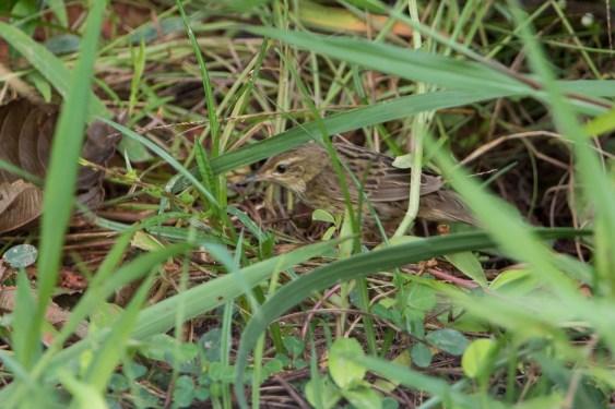 Lanceolated Warbler at Kranji Marsh. Photo Credit: Adrian Silas Tay