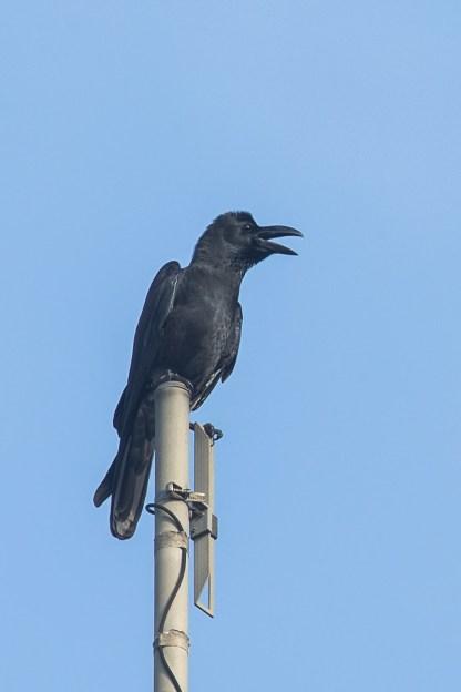 Large-billed Crow at Bukit Timah summit. Photo Credit: Francis Yap