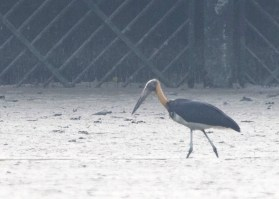 Lesser Adjutant at Western Catchment Area. Photo credit: See Toh Yew Wai