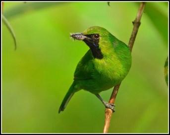 Male Lesser Green Leafbird from Panti Bird Sanctuary. Photo credit: Daniel Koh