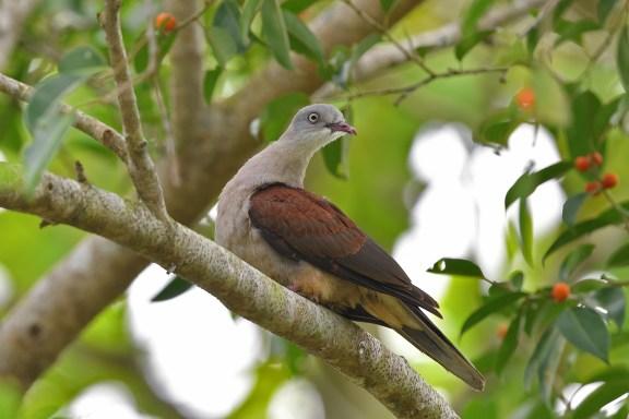 Mountain Imperial Pigeon at Pulau Ubin. Photo Credit: Daniel Wee