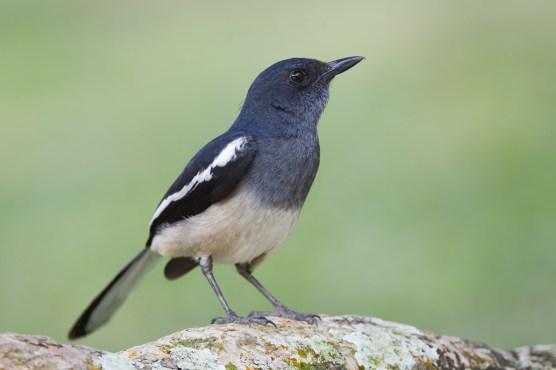 Oriental Magpie-Robin at SBG. Photo Credit: Francis Yap