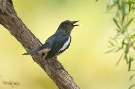 Oriental Magpie-Robin. Photo Credit: Zahidi Hamid