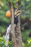 Oriental Pied Hornbill at Pulau Ubin. Photo Credit: Francis Yap
