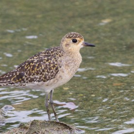 Pacific Golden Plover at Lorong Halus. Photo credit: Francis Yap