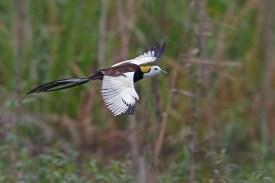 Breeding Pheasant-tailed Jacana from Hunan, China. Photo credit: Henry Koh