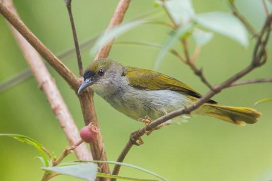 Male Plain Sunbird at Panti Forest. Photo Credit: Francis Yap