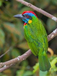 Red-crowned Barbet at Jelutong Tower. Photo Credit: Francis Yap