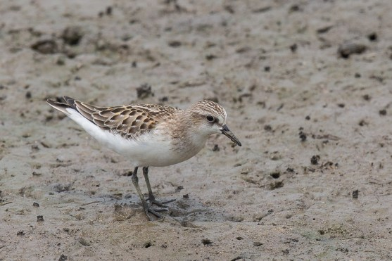 Red-necked Stint at SBWR. Photo Credit: Francis Yap