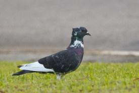 Rock Dove at SBG. Photo Credit: Francis Yap