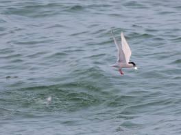 Roseate Tern in breeding plumage at Tanjung Dawai. Photo credit: Neoh Hor Kee