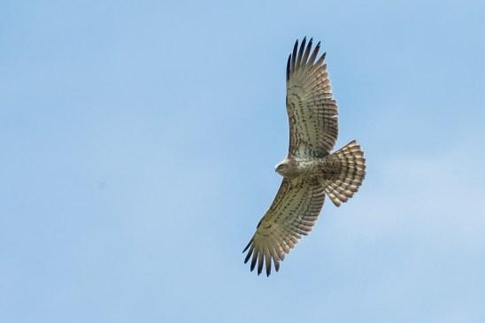 Short-toed Snake Eagle (pale morph) at Tanah Merah. Photo Credit: Francis Yap
