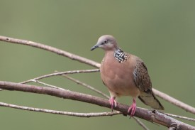 Spotted Dove at Changi Cove. Photo Credit: Francis Yap