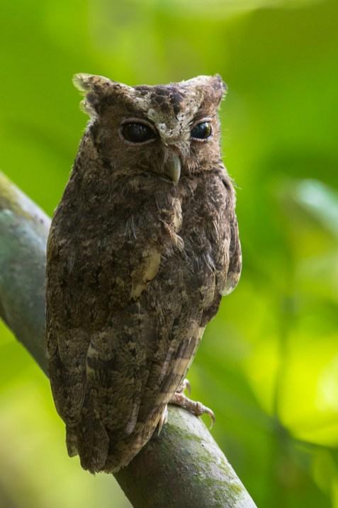 Sunda Scops Owl at Macritchie Reservoir. Photo credit: Francis Yap