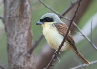 Adult male Tiger Shrike from Tuas South. Photo credit: See Toh Yew Wai